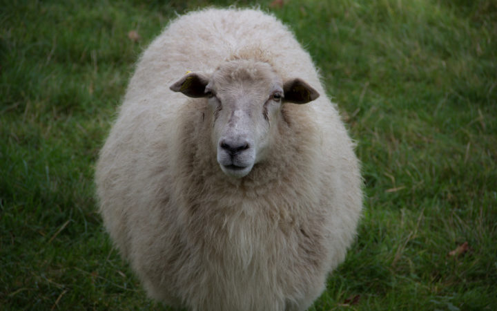 A Surly Sheep