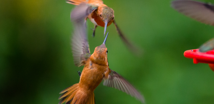 Incredible Slow Motion Footage of a Large Hummingbird Charm