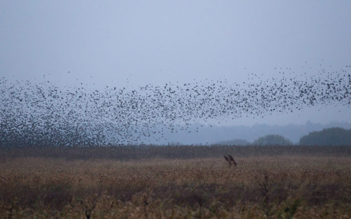 Black Sun Starlings in Jutland