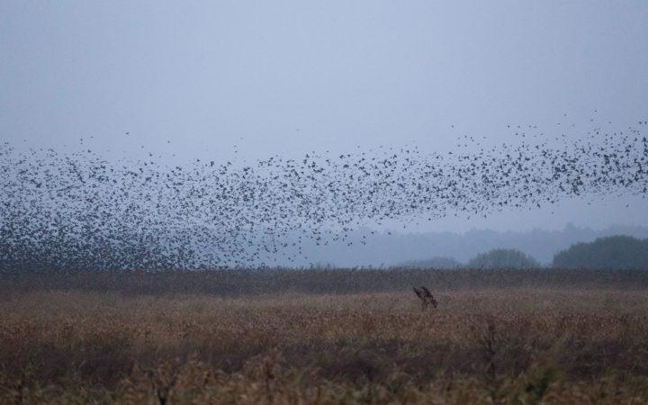 Black Sun Starlings in Jutland