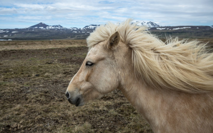 Icelandic Horse by Alex Berger