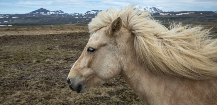 The Beauty and Grace of Icelandic Horses