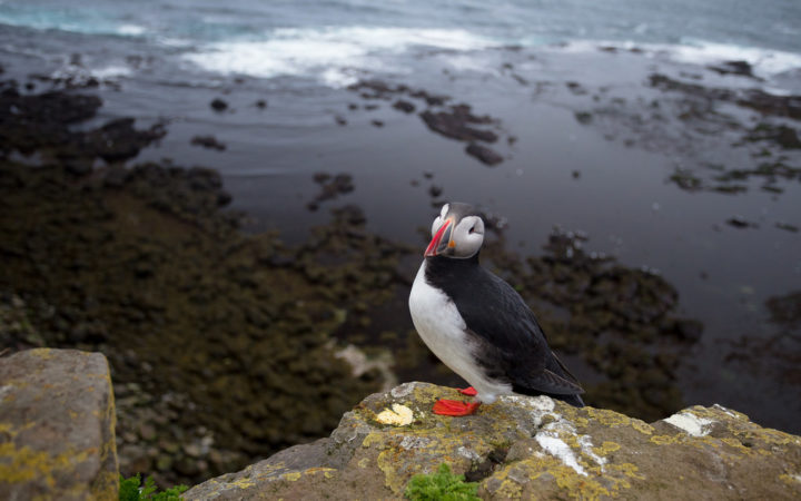 Puffin Westfjords by Alex Berger