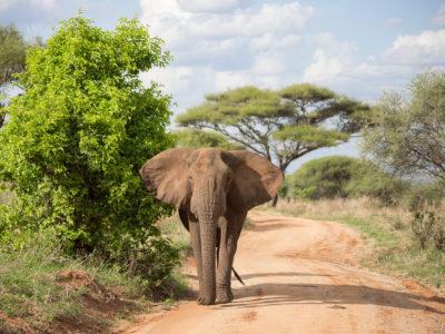 Tanzania Elephant AlexBerger