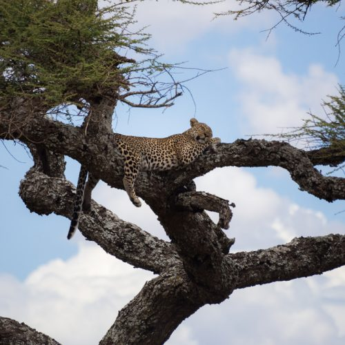 Alex Berger Tree Leopard