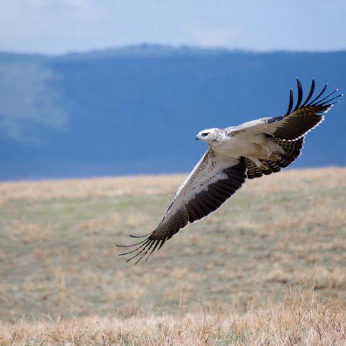 Safari Alex Berger - Martial Eagle